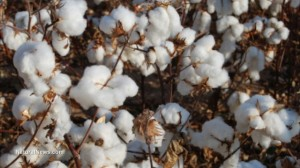Cotton-Plant-Field-Crop-GMO