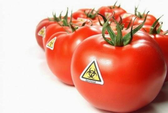 gmo-tomato-537x363