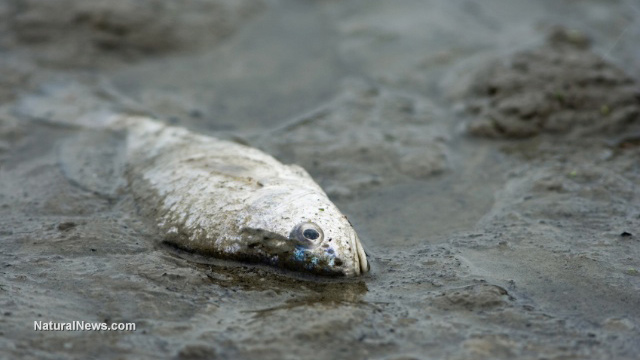 Dead-Fish-Contaminated-River-Sea-Pollution