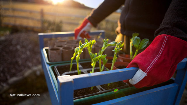 Gardener-With-Tray-Of-Seedlings-At-Sunset