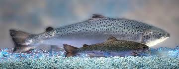 1 -gmo salmon