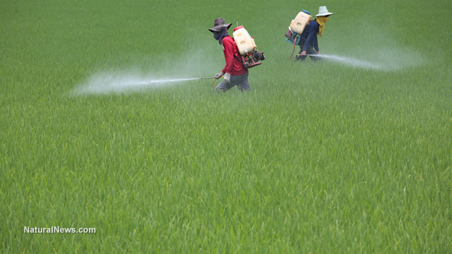 Farmer-Spraying-Pesticide-On-Rice-Field
