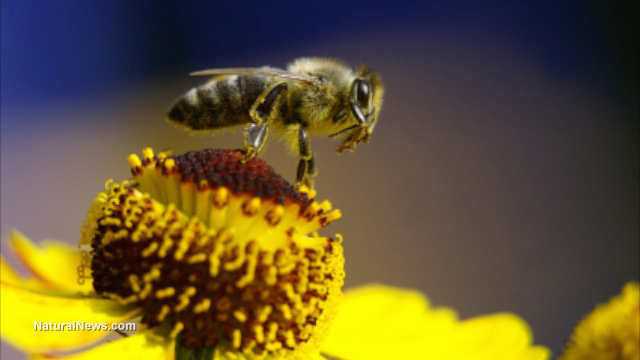 Honeybee-On-Yellow-Flower