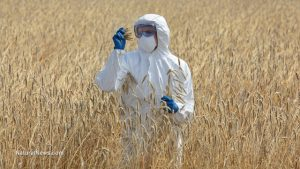 agricultural-engineer-on-field-examining-ripe-ears-of-grain-gmo-test-crop