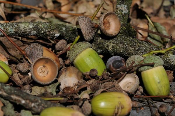 acorns-600x399